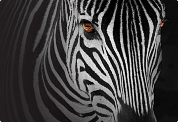 A zebra with glowing fiery eyes